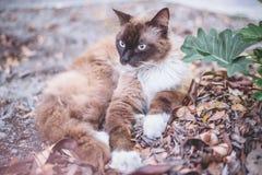 雪鞋子, ragdoll,变冷在街道照片的暹罗猫与 库存照片
