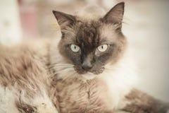 雪鞋子, ragdoll,变冷在街道照片的暹罗猫与 免版税库存图片