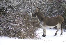 雪驴 库存图片