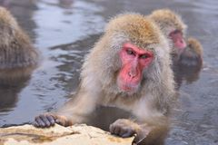 雪猴子公园 库存图片