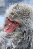 雪猴子在日本 图库摄影