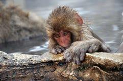 雪猴子在温泉 免版税库存照片