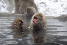 雪猴子在Jigokudani猴子公园(长野) 免版税库存照片