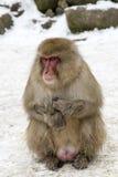 雪猴子在Jigokudani猴子公园(长野) 免版税库存图片