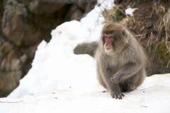 雪猴子坐雪 免版税图库摄影