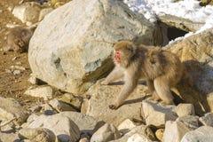 雪猴子威胁姿势 库存照片