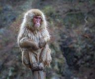 雪猴子或日本短尾猿在温泉onsen 免版税库存照片