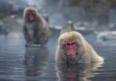 雪猴子或日本短尾猿在温泉onsen 免版税图库摄影