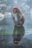 雪猴子或日本短尾猿在温泉onsen 图库摄影