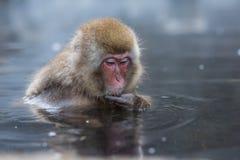 雪猴子或日本短尾猿在温泉onsen 免版税库存图片