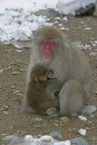 雪猴子或日本短尾猿,猕猴属fuscata 库存图片