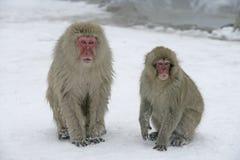 雪猴子或日本短尾猿,猕猴属fuscata 免版税库存图片