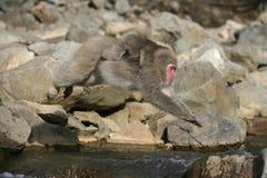 雪猴子或日本短尾猿 免版税图库摄影