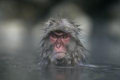 雪猴子或日本短尾猿 免版税库存照片