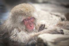 雪猴子睡眠和在温泉放松 免版税库存照片
