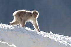 雪猴子走 库存图片
