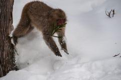 雪猴子跳跃从树的,日本 免版税库存照片