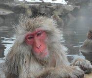 雪猴子,日本 库存照片