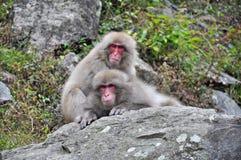 雪猴子, Jigkudani,长野,日本 免版税图库摄影