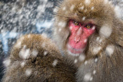 雪猴子 库存照片