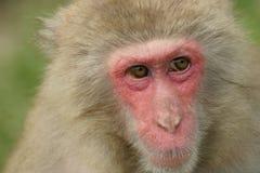 雪猴子 免版税库存照片