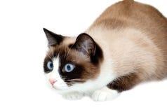 去雪靴的猫攻击,隔绝在白色背景 免版税库存照片