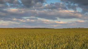 雷云的运动在冬麦的领域的在早期的春天在唐的浩大的干草原 股票视频