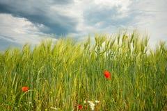 雷云移动在绿色领域和红色鸦片在前景 免版税库存照片