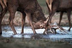 雷德迪尔雄鹿在水中与反射战斗 库存照片