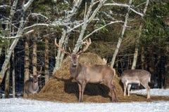雷德迪尔雄鹿鹿Elaphus和两头小鹿黄鹿黄鹿 小组鹿的另外种类在冬天领域吃草在H附近 免版税库存照片
