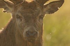 雷德迪尔雄鹿& x28; 鹿elaphus& x29; 免版税库存图片