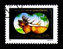 雷德迪尔(鹿elaphus),匈牙利猎人100th周年  图库摄影