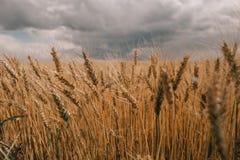 雷暴飓风覆盖领域农业庄稼麦子 免版税图库摄影