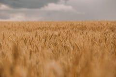 雷暴飓风覆盖领域农业庄稼麦子 库存图片