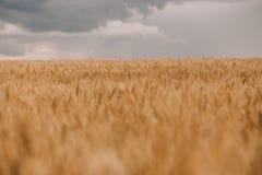 雷暴飓风覆盖领域农业庄稼麦子 图库摄影