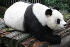 雷蕾, A母熊猫在福州动物园,中国里 库存图片