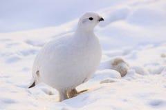 雷鸟冬天全身羽毛在俄罗斯 免版税库存图片