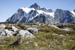 雷鸟在北部小瀑布国家公园 免版税库存图片
