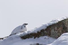 雷鸟,雷鸟属muta,岩石,走在雪的岩石在冬天期间在cairngorms国家公园,行军 免版税库存照片