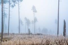 雾在杉木森林里 免版税图库摄影