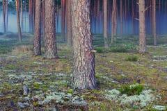 雾在森林里在晚上 免版税库存图片