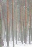雾森林杉木 免版税图库摄影