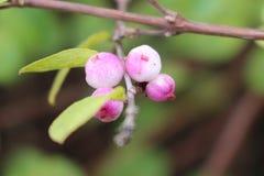 雾浊的雪莓果 免版税库存图片