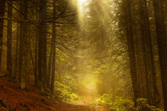 雾的杉木黑暗的秋天森林 免版税图库摄影