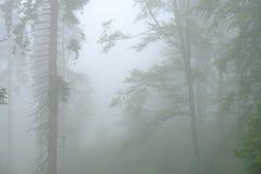 雾的森林在Dragobrat Urkaine 免版税库存图片