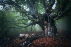 雾的神秘的秋天森林早晨 老结构树 库存照片