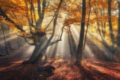雾的秋天森林与太阳光芒 不可思议的老树 免版税库存照片