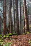 雾的美丽的具球果山森林 自然本底 免版税图库摄影
