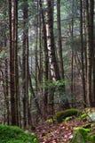 雾的美丽的具球果山森林 自然本底 免版税库存照片