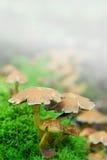 雾魔术蘑菇 库存照片